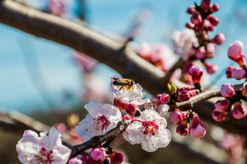 Fleurs d'abricotier et abeille.