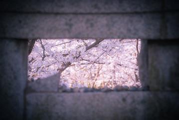 ストーンフォトフレーム越しの桜