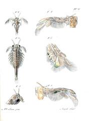 Illustration of the animal