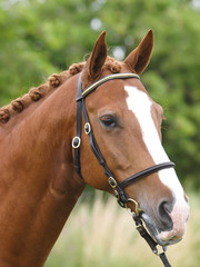 Head Shot of Horse in the Show Ring