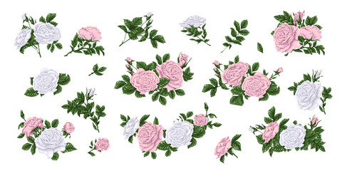 Set of pink and white roses, bouquets, flowers and buds.