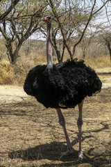 Ostrich in the Abijatta-Shalla National Park in Ethiopia.