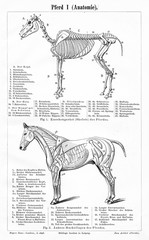 Horse I - anatomy (from Meyers Lexikon, 1896, 13/770/771)