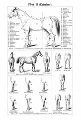 Horse II - exterieur (from Meyers Lexikon, 1896, 13/770/771)