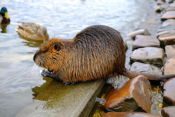 Big water nutria on the pond