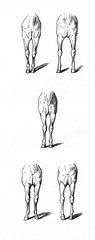 Equine conformation - defects of forearms (from Meyers Lexikon, 1896, 13/770/771)