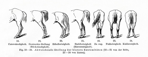 Equine conformation, hind legs (from Meyers Lexikon, 1896, 13/770/771)