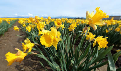Daffodil Field in Skagit Valley