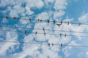 flock of swallows sitting on wires against blue sky.