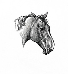 Horse with roman nose (from Meyers Lexikon, 1896, 13/770/771)