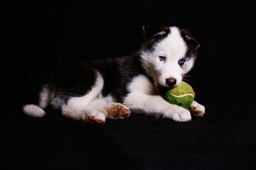 A sweet puppy husky dog with blue eyes