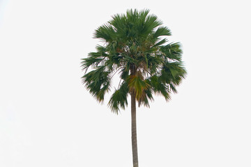 Stand alone asian palm, toddy palm, sugar palm, on white background.