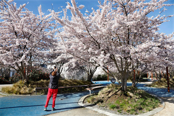 A woman takes a photo of blooming cherry trees in Fontenay-sous-Bois, near Paris