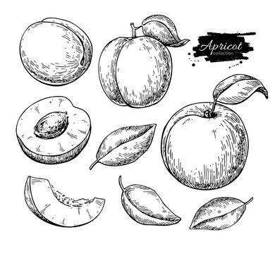 Apricot vector drawing. Hand drawn fruit and sliced pieces.  Sum