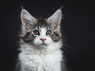 Head shot of Handsome black tabby with white Maine Coon / cat kitten sitting straight up facing camera isolated on black background