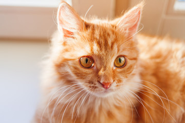 Cute ginger cat looking curiously. Close up portrait of fluffy pet. Cozy morning at home.