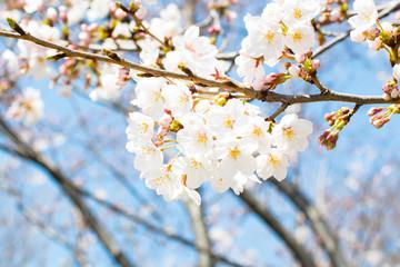 晴天に勢いよく咲く桜