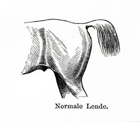 Normal loins (from Meyers Lexikon, 1896, 13/770/771)