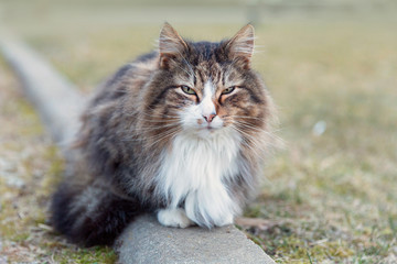 Fototapete - Fluffy cat portrait
