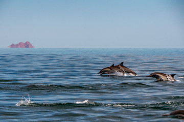 common dolphin pod jumping outside the ocean