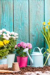 Image of colorful chrysanthemums in pots near wooden fence