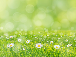 Green grass lawn with daisy flowers spring background