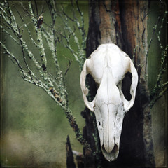 Grunge textured animal skull on moss and lichen covered tree stump in forest. Moody, dark, pagan and animal totem concepts.