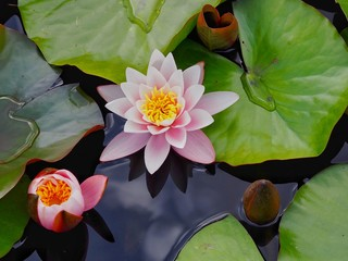 Stores photo Nénuphars Water Lilies