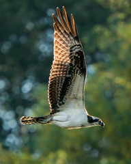 Osprey Flight IV