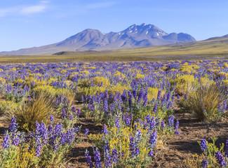 Flowering Atacama desert, Chile