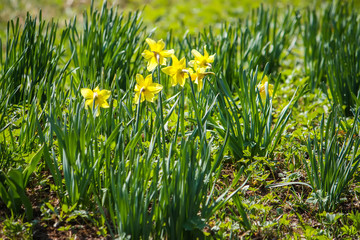 Yellow daffodils or narcissus flowers growing in spring garden.