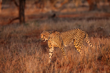 The cheetah (Acinonyx jubatus) walking through the grass at sunset among trees. African cat in the evening light.