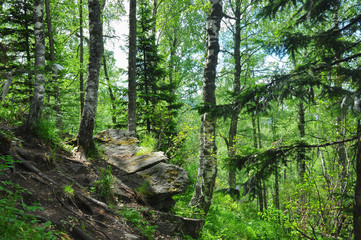 Thick birch and spruce forest on the hillside. Manzherok, Altai mountains, Russia