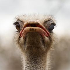 winking ostrich animal portrait