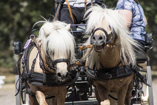 Attelage chevaux hénissement