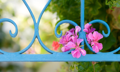 Pink flowers of pelargonium species grow out of a light blue wrought iron fence