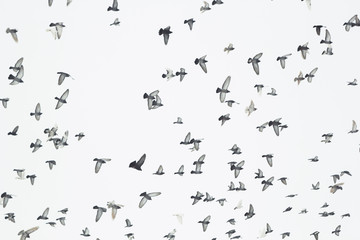 A flock of flying birds in the sky. Many pigeons as a background.