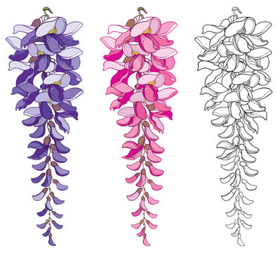 Vector set of outline Wisteria or Wistaria flower bunch and bud in black, pink and pastel purple isolated on white background. Blossoming climbing plant Wisteria in contour style for spring design.