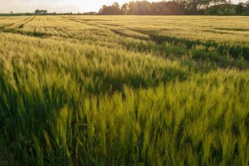 Getreidefeld Fotoväggar