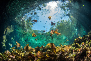 Papiers peints Plongée Diving in the Cenote Nicte Ha in Yucatan, Mexico