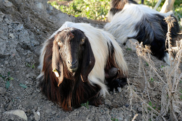 black and white goat pictures, horned goat pictures,