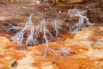 Fungal mycelium on dead wood. Mass branching of vegetative part of fungus, exposed by removing bark on dead coniferous log
