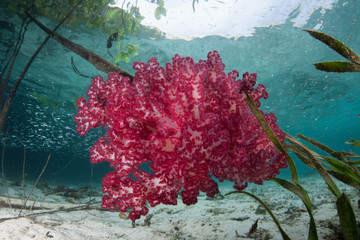 Bright Red Soft Coral Colony in Blue Water Mangrove, Raja Ampat