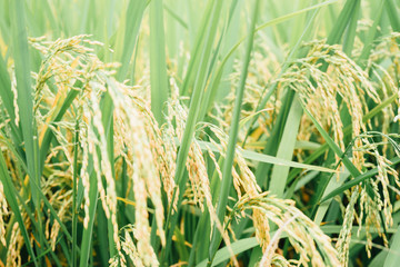 rice - cereal plant