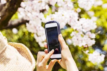 満開の桜をスマホで撮影する人の手