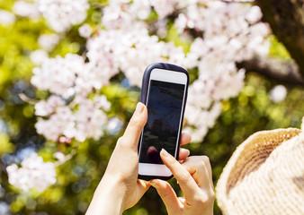 満開の桜をスマホで撮影する手