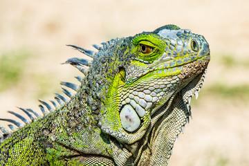 Iguana verde en la playa