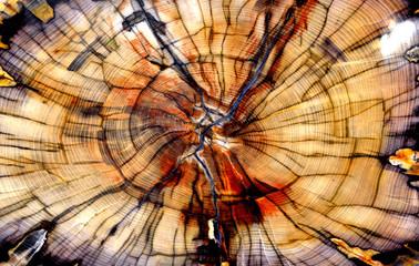 Petrified Elm