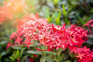 Beautiful red ixora in the garden with sun light in background.