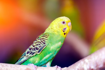 Close-up of a young beautiful yellow-green parrot  or melopsittacus undulatus perched on a wooden branch